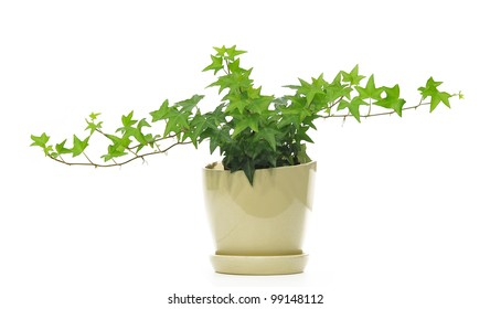 green ivy in the lovely pot