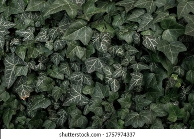 Green Ivy Mactro photo. Texture and background