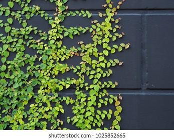 Green ivy on black wall
