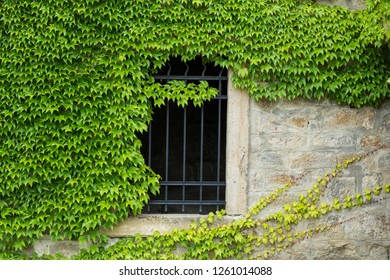 Green  ivy  on the old stone wall with gates