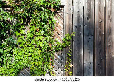 Green ivy on old wooden background