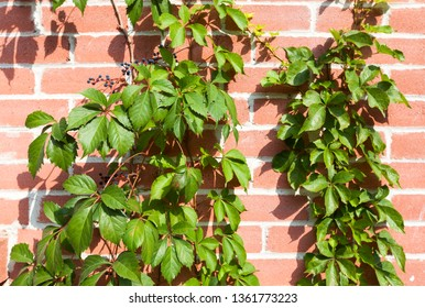Green ivy on red brick background
