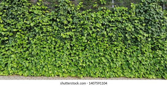Green ivy on wall. ivy texture.