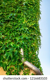 Green ivy plant covering a metal drain on the wall of a building