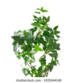 Green ivy plant (Hedera helix) isolated on a white background. Design element.