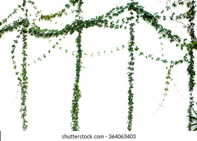 Green Ivy plant isolated on white background