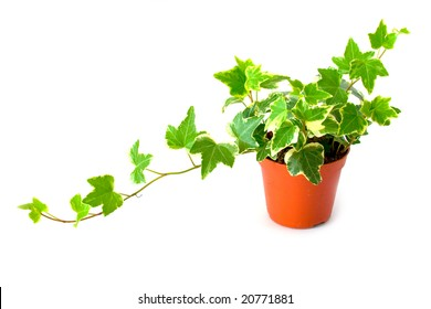 Green ivy in pot isolated on a white background