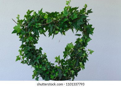 Green ivy rivers in heart -from in front of white background