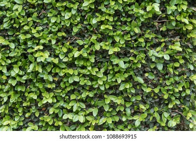 Green Ivy Wall Close Up with evenly lit leaves