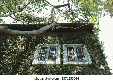 Green ivy wall plant on the old building with windows, spring summer background