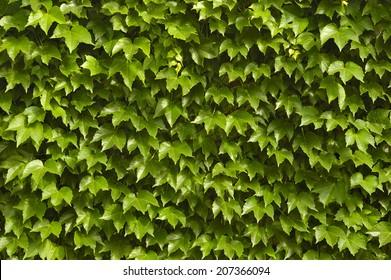 green Ivy Wall texture