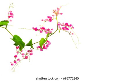 Green ivy withflo pink flowers isolated on white background.