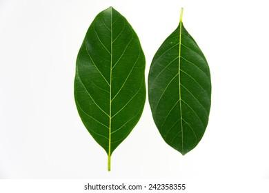 Green jackfruit leaf isolated on white background