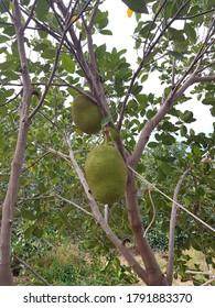 Green Jackfruit and Green Jackfruit in plantation