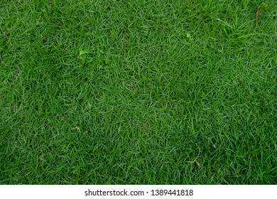 green japan hair grass texture background,view from the top