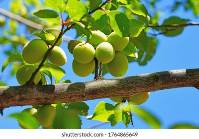 Green Japanese apricot growing on a ume tree