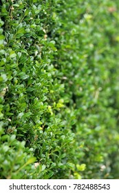 Green Japanese Boxwood hedge-vertical