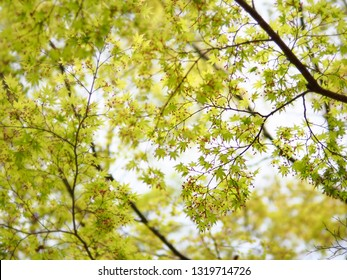 Green Japanese maple branch for natural background