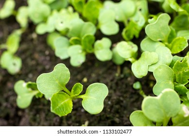 Green japanese mustard spinach buds growth from soil