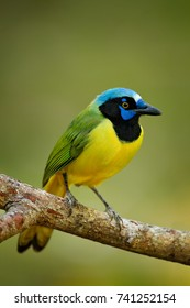 Green Jay, Cyanocorax yncas, beautiful bird from Central America. Birdwatching in Belize. Jay sitting on the branch. Yellow bird, black blue head, wildlife from Mexico.