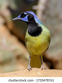 Green Jay on a rock  in South Texas.