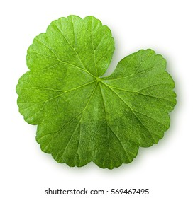 Green juicy leaf geranium top view isolated on white background
