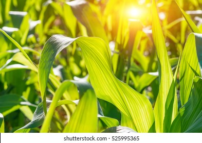 Green juicy leaves of young corn in the field, closeup. Agricultural background