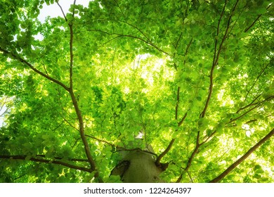Green juicy luminous tree crown of a beech
