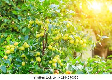 green jujube fruit grows on the jujube tree