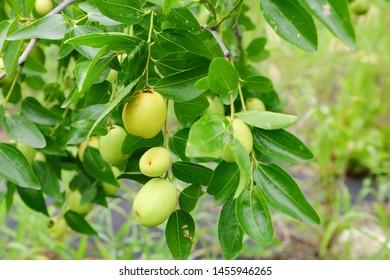 Jujube Tree Images, Stock Photos & Vectors | Shutterstock