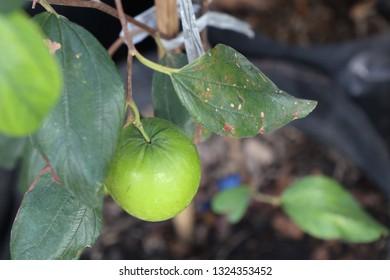 Green jujube on tree