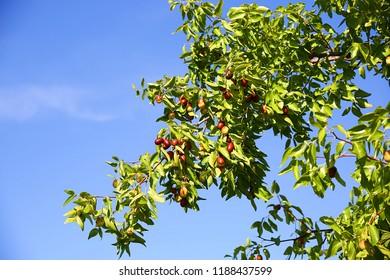 Green jujube tree