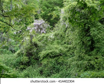 Green jungle, subtropical forest in spring, blooming wisteria