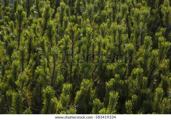 Green juniper trees