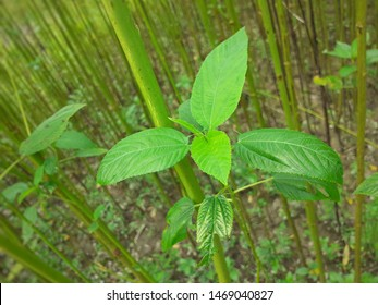 Green jute plant leaves. Jute cultivation in Assam in India