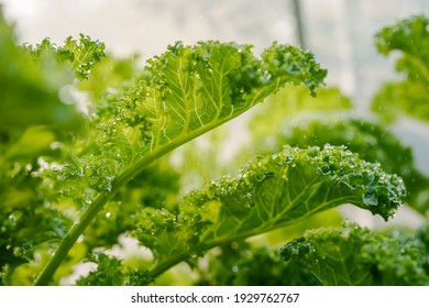 green kale leaves while watering