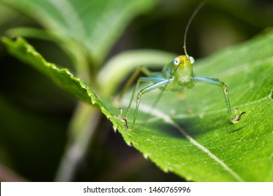 Green katydid or bush cricket on a leaf. Insects of central America, Costa Rica.