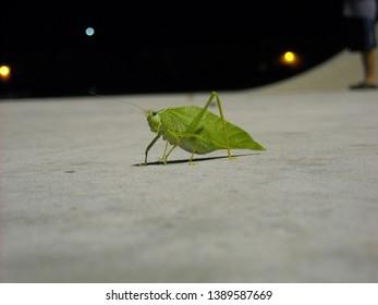 Green Katydid Leaf insect on Ground in Park at Night  Giant Katydid Microcentrum rhombifolium bug