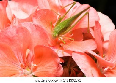 Green katydid on pink geranium flowers. Nature flora and fauna macro photography.