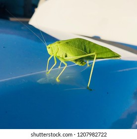 Green katydid outside