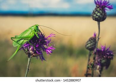 Green katydid/bush-cricket on purple flower