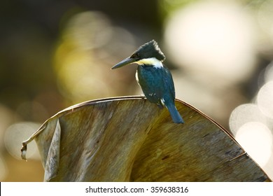 Green Kingfisher Chloroceryle americana, female, looking for fish perched on old banana leaf, blurred sun sparkling water background. Close up photo. Side,rear view. Nice bokeh.