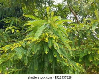 The green krishno  chura tree leaves in the field