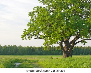 Green krone of a sprawling old single oak on a meadow in the summer.