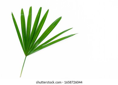 green lady palm leaf close up  on surface isolated  White background