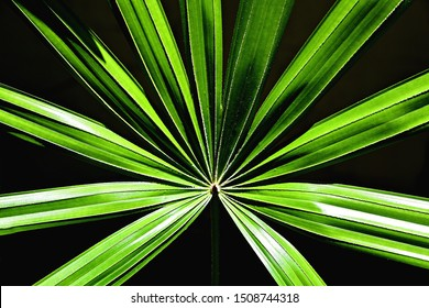 green lady palm leaves on isolate background
