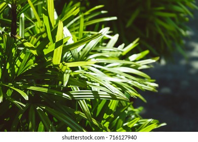 Green lady palm leaves in sunlight,Close up.background. Thailand