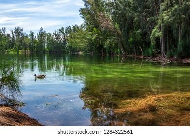 Green lake with duck and Australian pine tree (Casuarina equisetifolia) forest, woods - Wolf Lake Park, Davie, Florida, USA