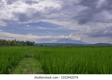 Green landscape of rice field under cloudy sky. Green paddy field contrast with blue mountain as background