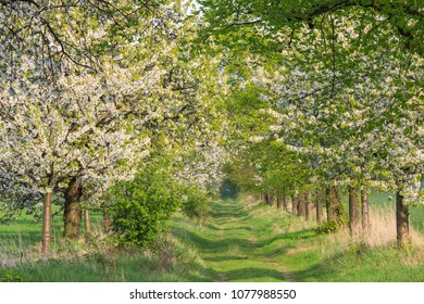 Green lane with cherry trees in blossom. Spring landscape near Quedlinburg in Saxony-Anhalt, Germany